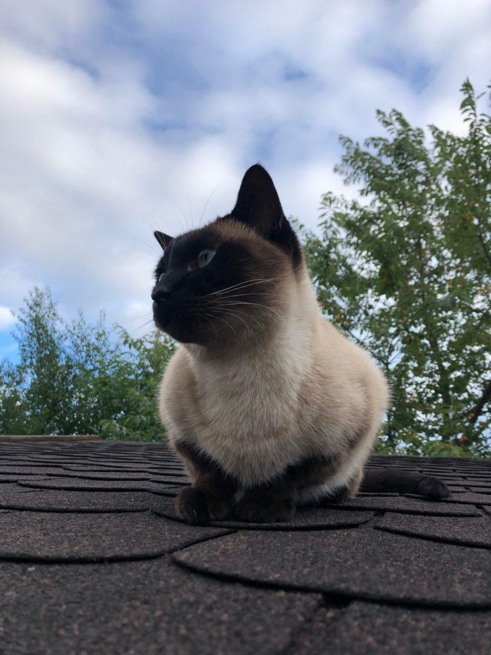 Sitzende Siamkatze, die zur Seite schaut
