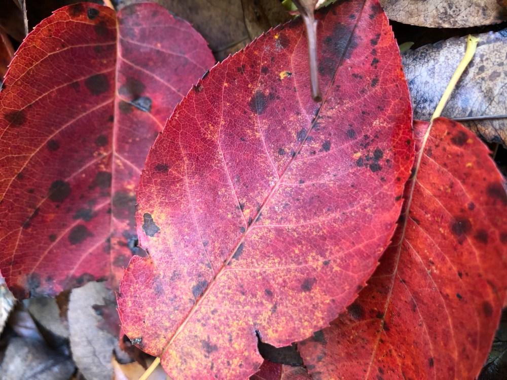 Rotpink strahlende Blätter