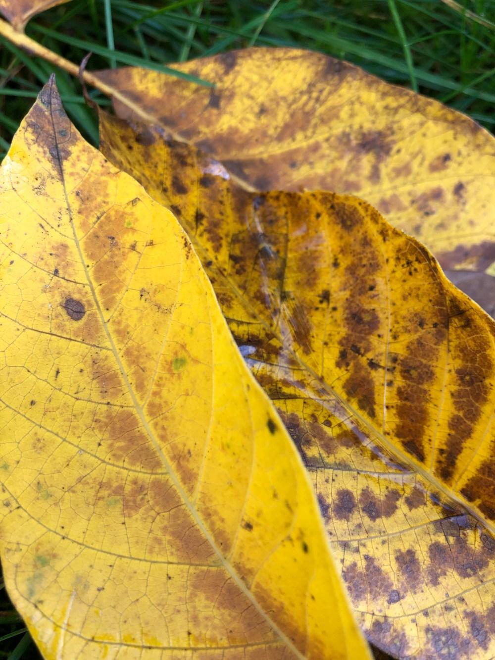 Gelbe Walnussbaum Blätter