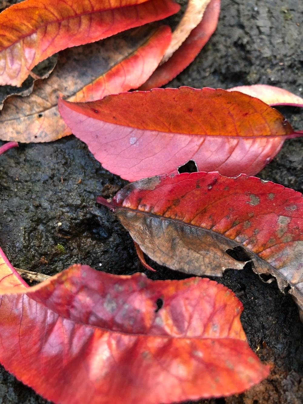 Halbverfaulte bunte Blätter