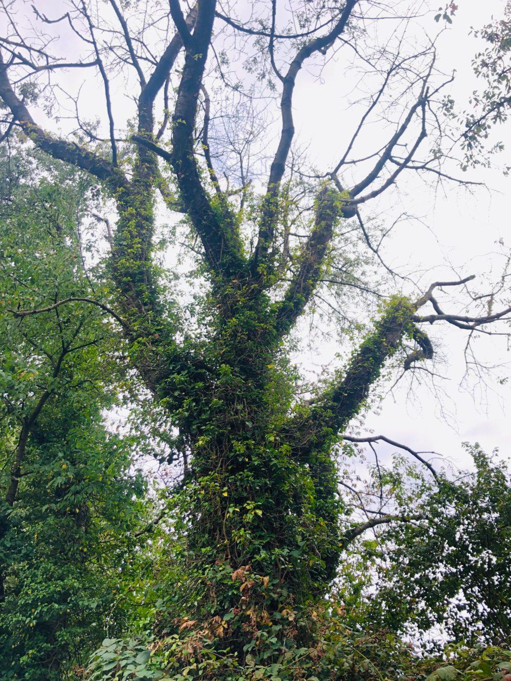 Großer Baum bewachsen mit vielen Kletterpflanzen