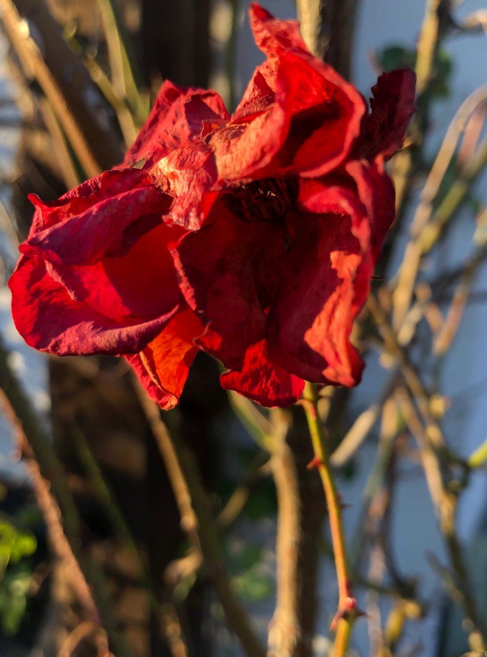 Verdorrende Rose von der untergehenden Sonne beleuchtet
