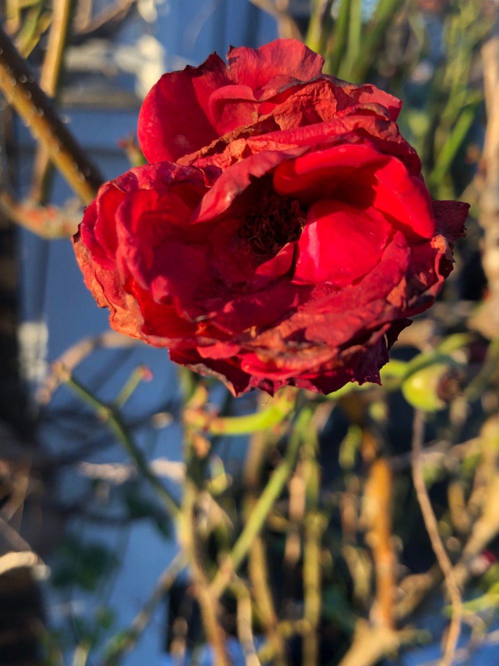 Etwas überreife rote Rose