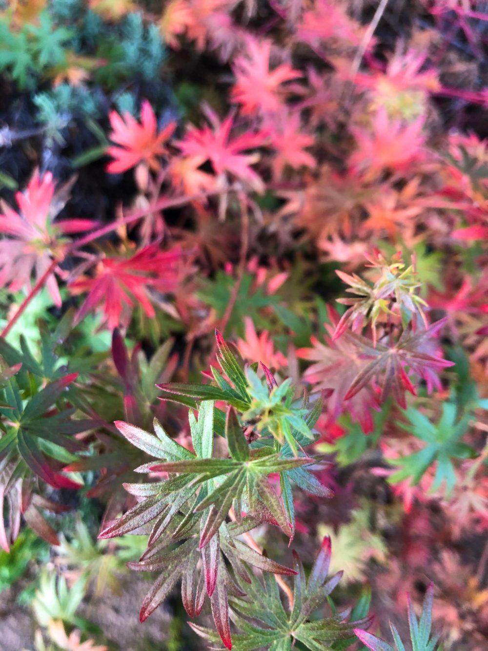 Grüne und blutrote Blätter der Geranium Sanguineum