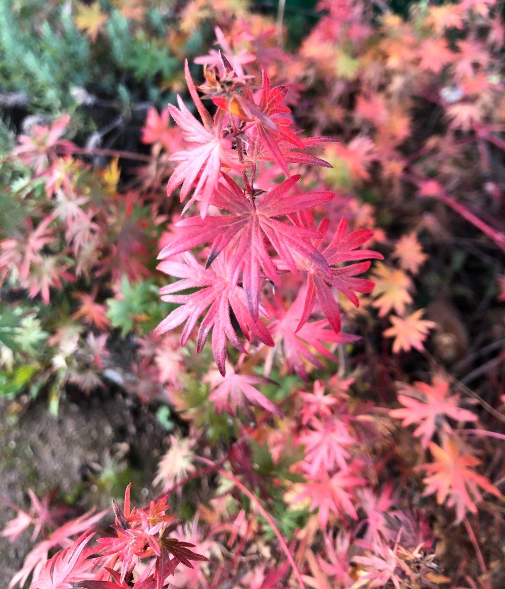Blätter des blutroten Storchschnabels