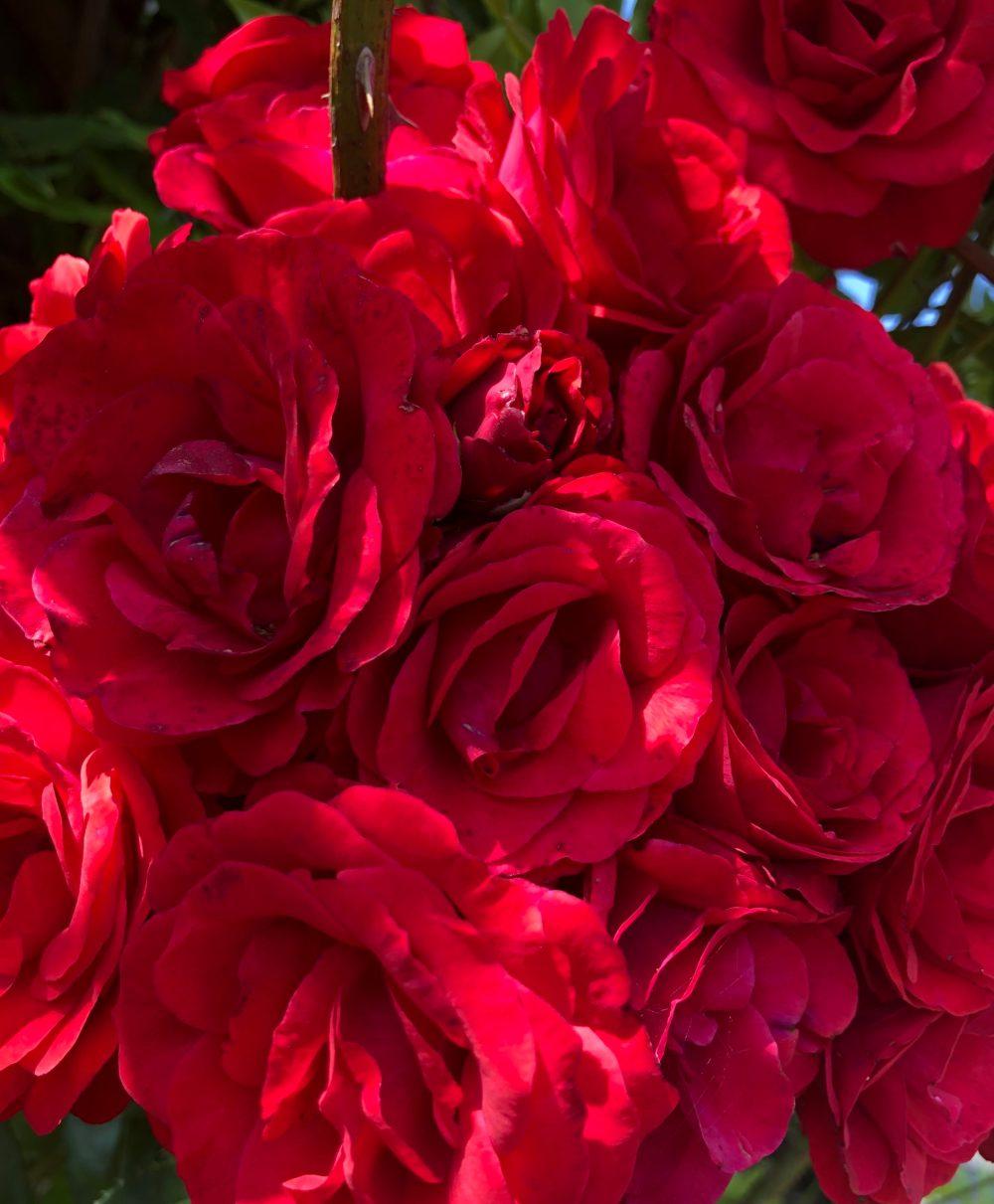Viele rote Rosen