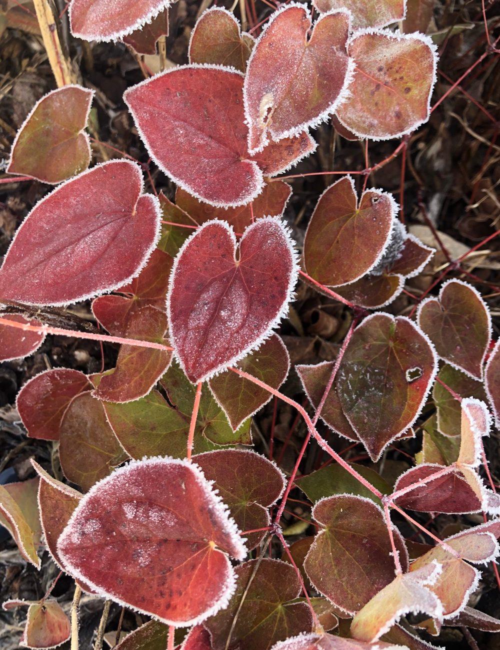 Gefrorene herzförmige rote Blätter