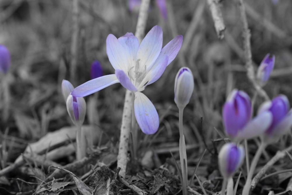 Krokusse in lila und schwarz weiß