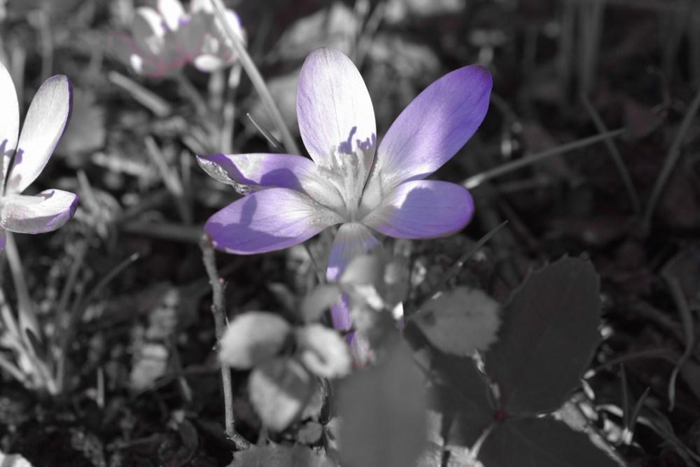 Lilafarbene Blüte einer Krokus mit schwarz weißem Hintergrund