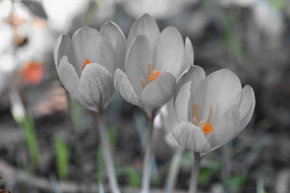 Schwarz weiße Krokusse mit orangenem Staubbeutel
