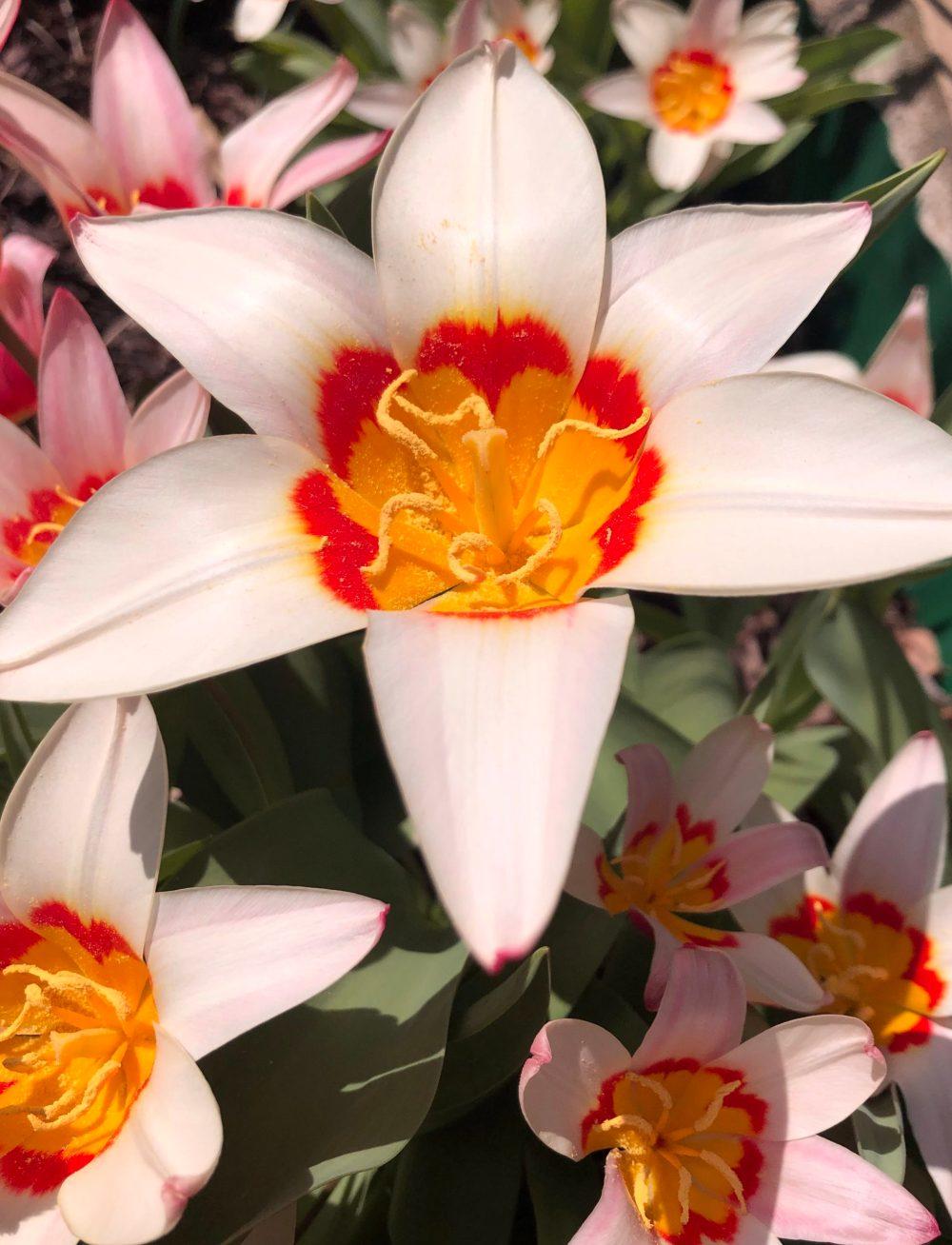 Sehr viele offene Tulpenblüten von oben
