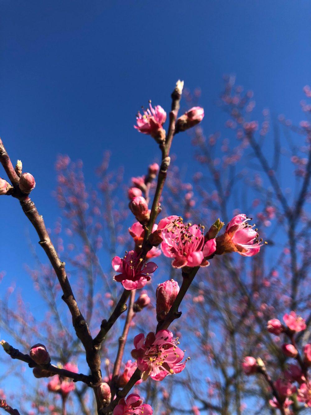 Zweig mit Pfirsichblüten im Vordergrund und Pfirsichbaum im Hintergrund