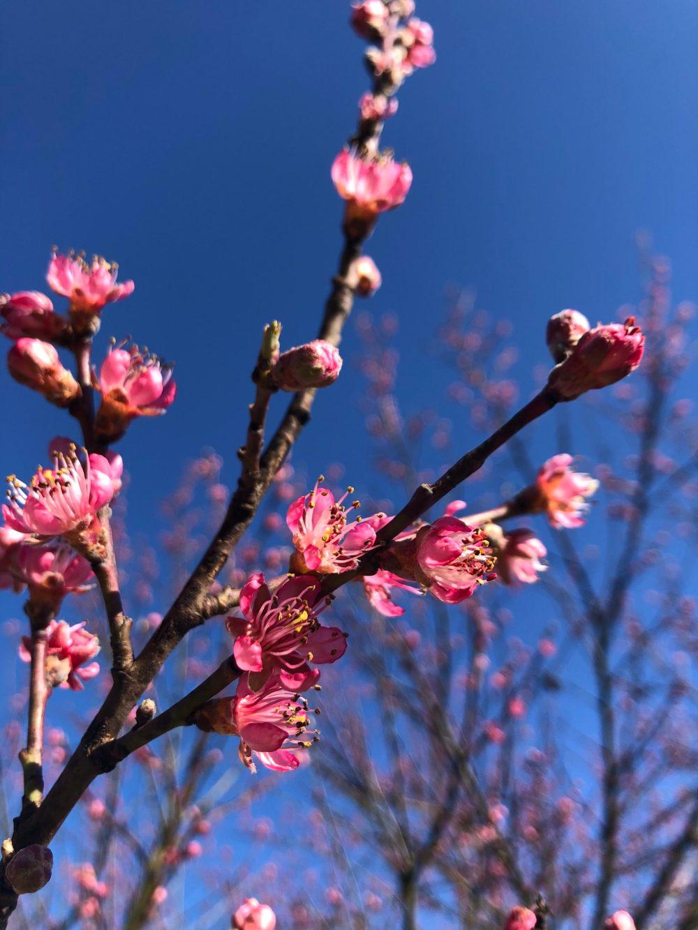 Zweig mit Knospen und Blüten des Pfirsichbaum