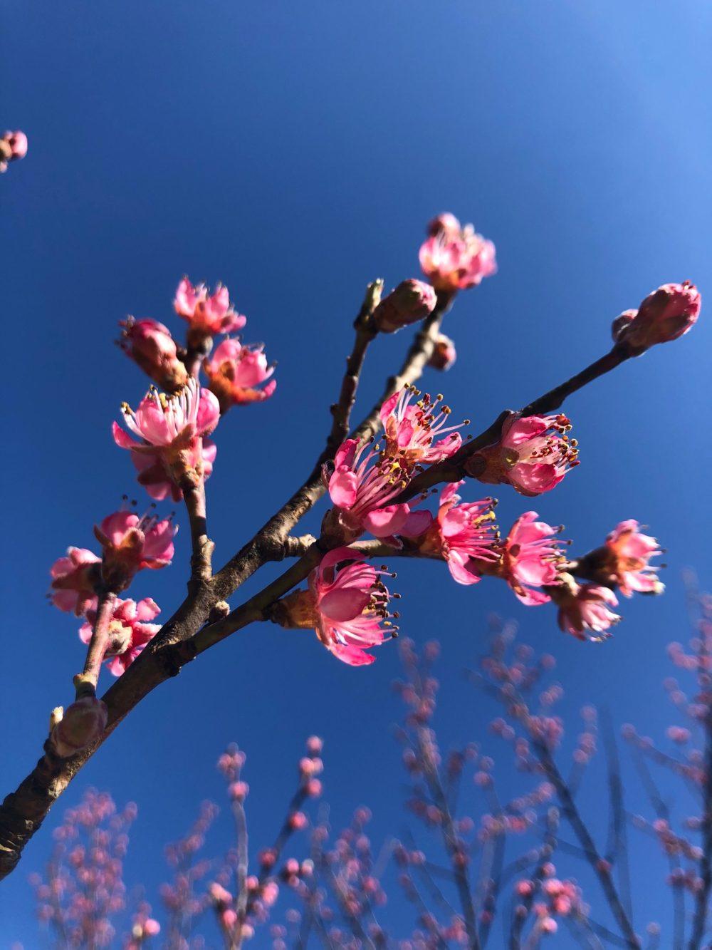 Pfirsichblüten unter blauem Himmel