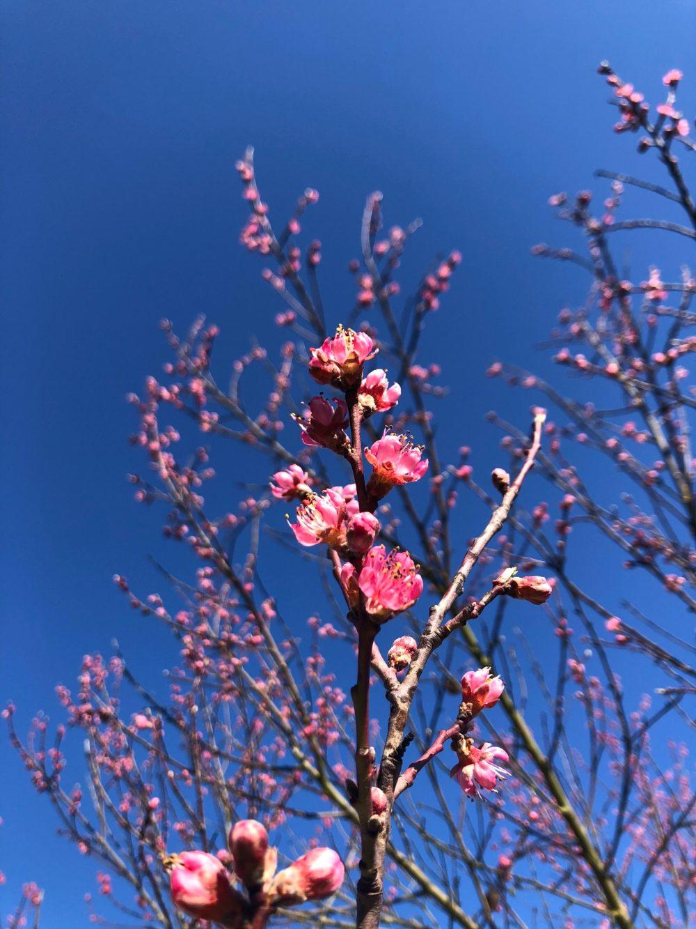 Zweig mit pinkfarbenen Blüten