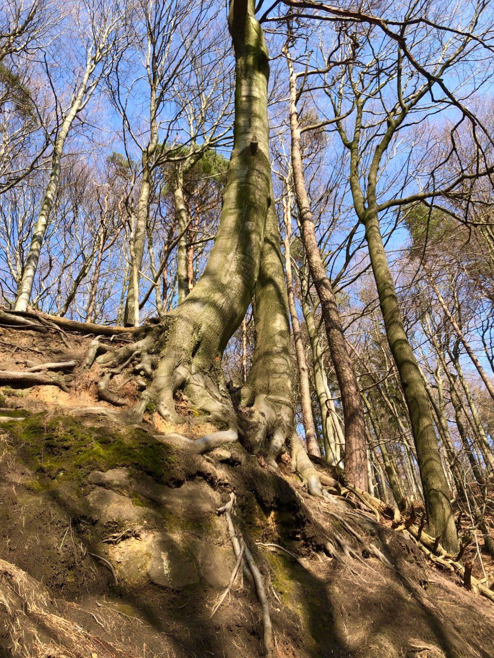 Bäume am Felsen, deren Wurzeln aus der Erde heraus ragen