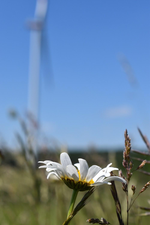 Margerite mit Windrad im Hintergrund