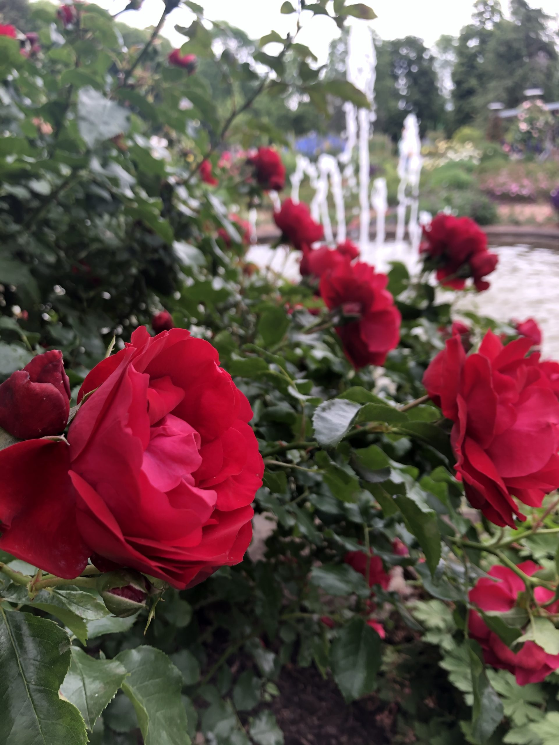 Rote Rosen vor einem Springbrunnen