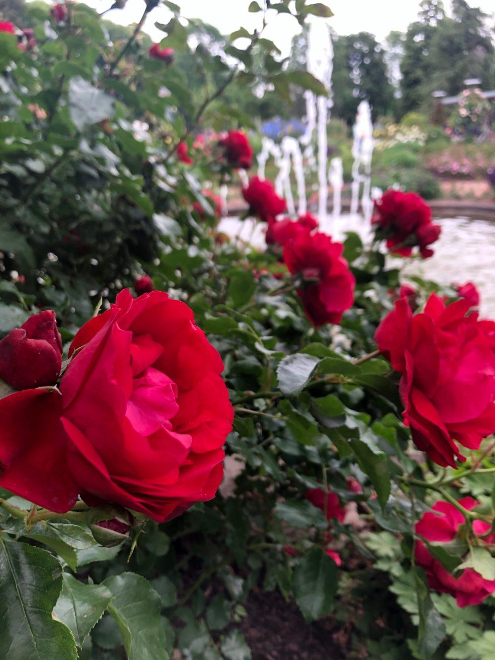 Rote Rosen vor einem Springbrunnen im Rosengarten in Zweibrücken