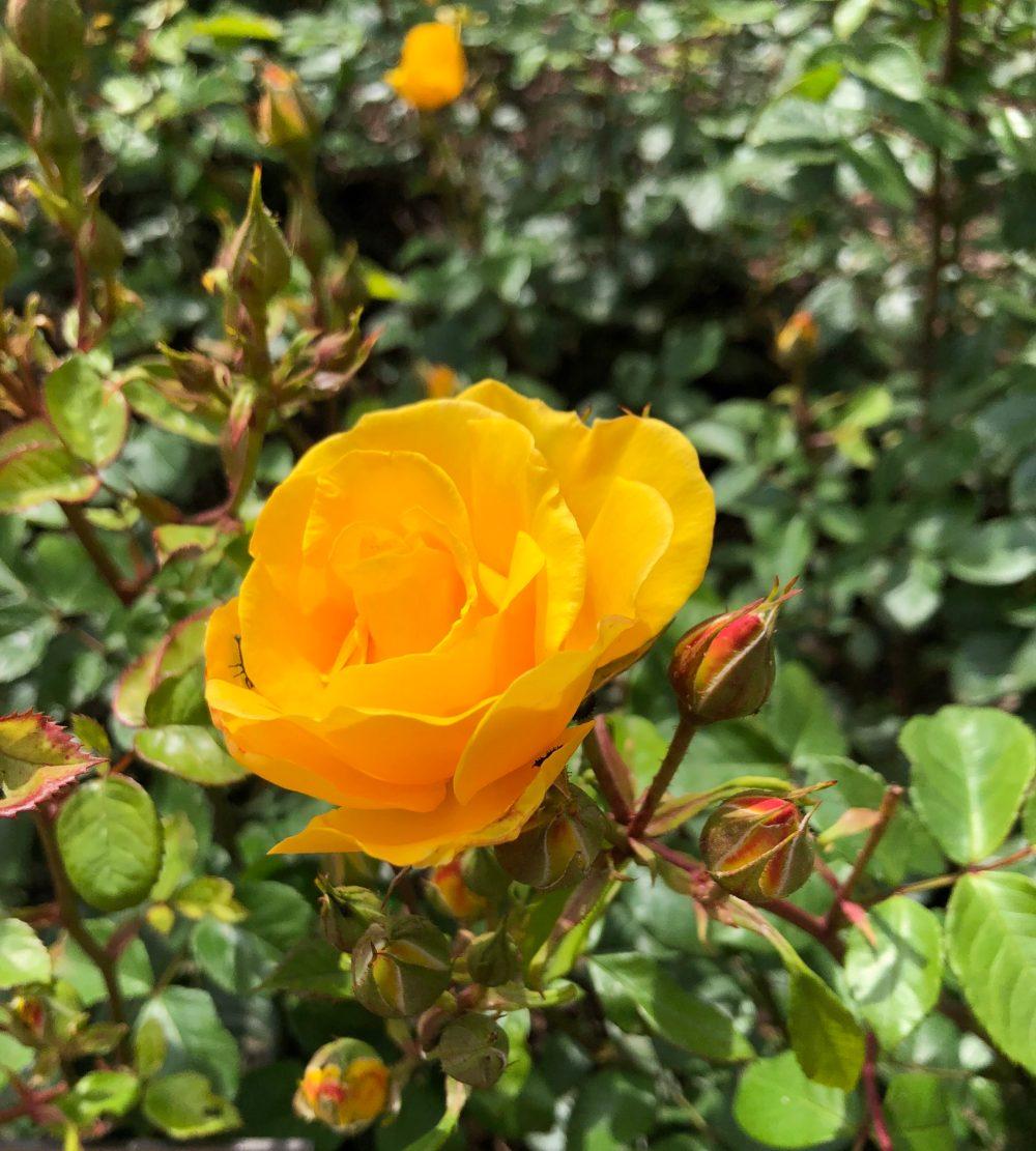 "Gelbe Beetrose ""Stuttgardia"" im Rosengarten in Zweibrücken"