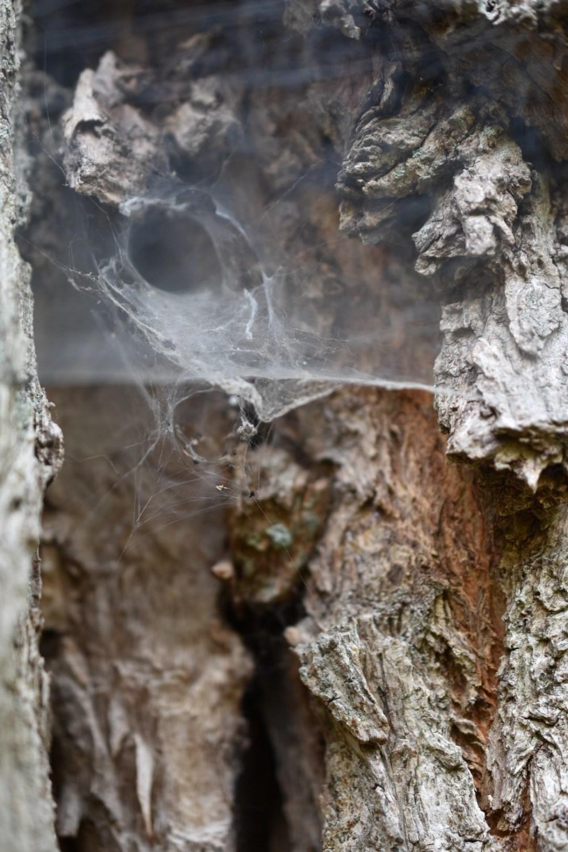 Spinnennetz zwischen der Rinde eines Baumes