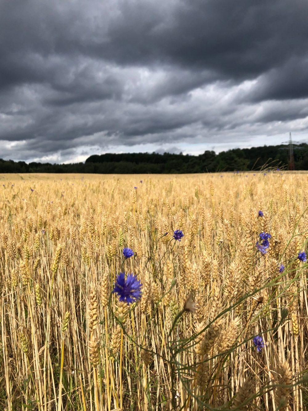 Kornblumen im strahlend, goldenem Gerstenfeld unter dunklen Gewitterwolken