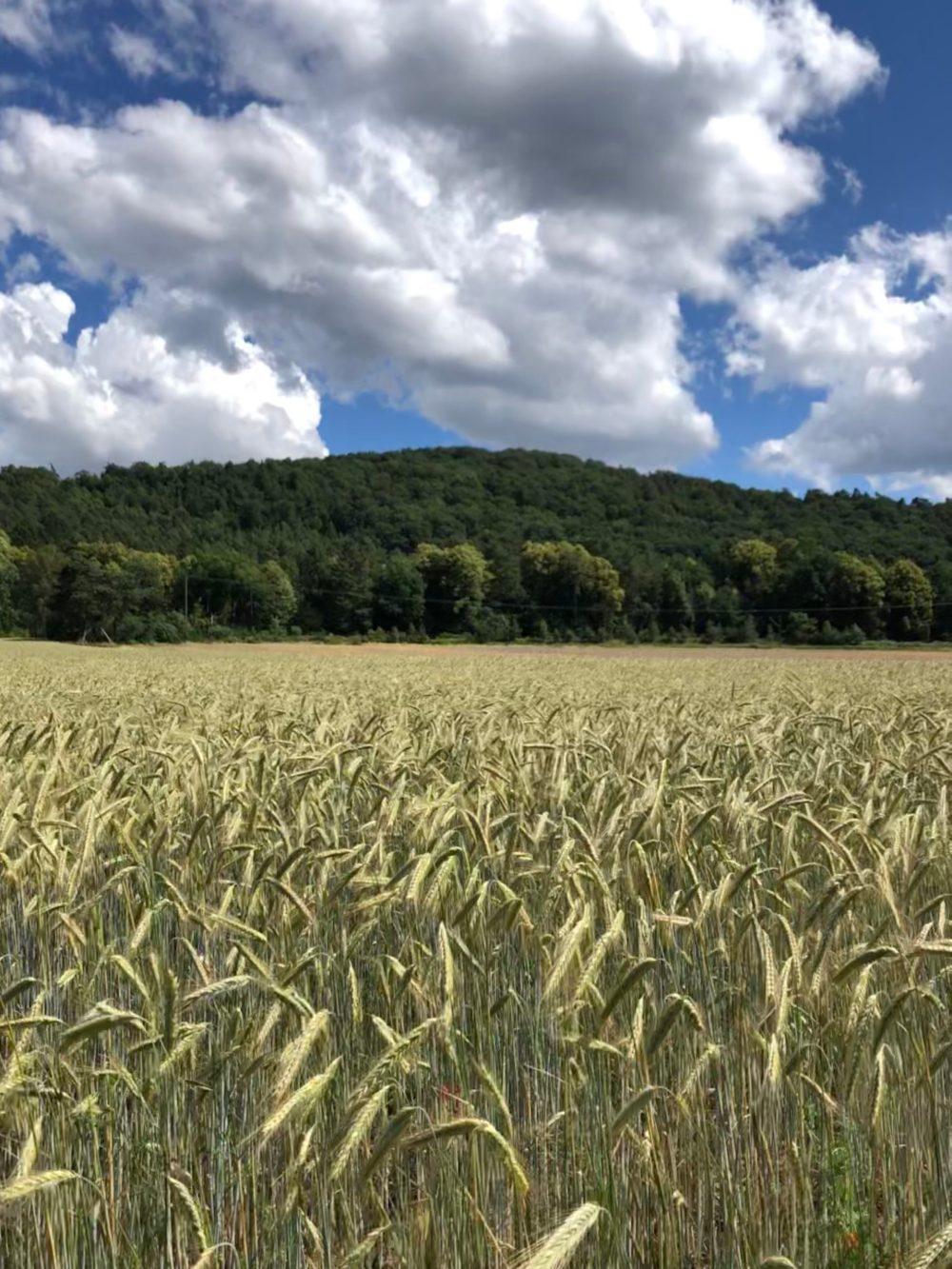 Grünliches Gerstenfeld
