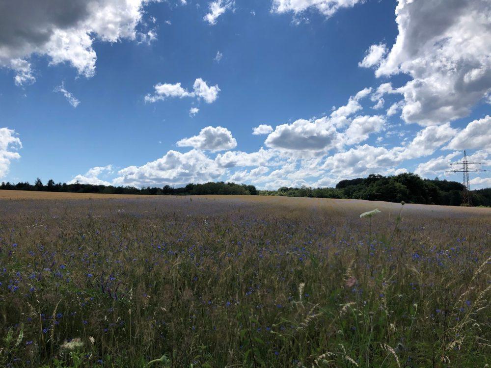 Kornblumenfeld mit vielen kleinen Wölkchen im Hintergrund