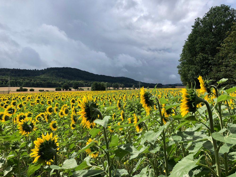 Sonnenblumen von hinten