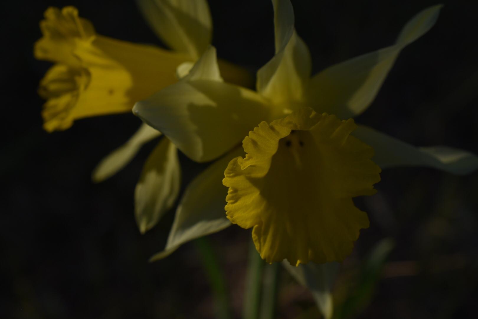 Nahaufnahme der Narzissen Blüten dunkel belichtet