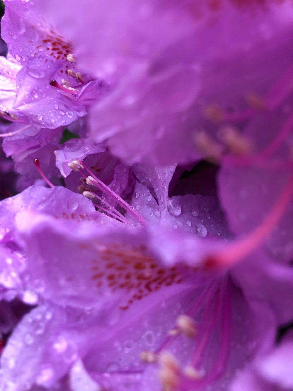 Nahaufnahme der rosafarbenen Blütenblätter mit Tropfen in der Welt der Wassertropfen