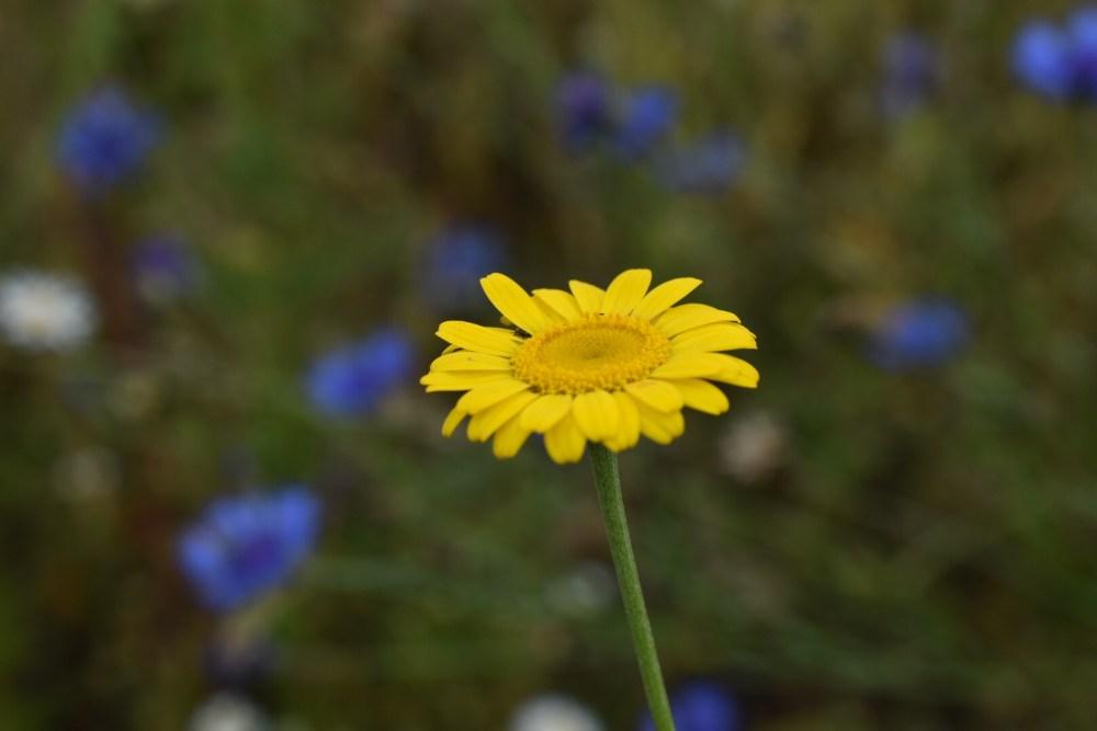 Butterblume mit blauen Kornblumen im Hintergrund