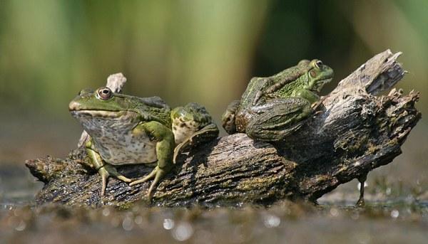 лягушки в пруду