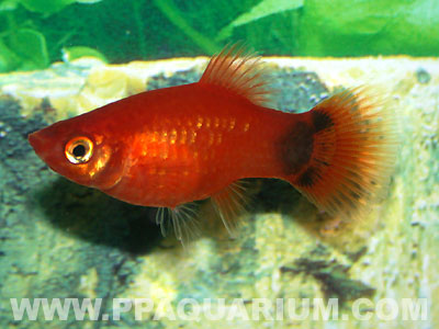 Common Mickey Mouse Platy