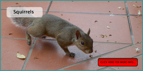 controlling squirrel pests