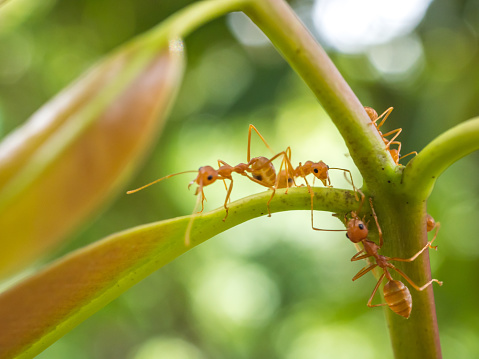 Worker Ants Feeding On A Drop Of Ant Bait Ants Consume The And Take Some Back To Their Nest Where It Disrupts Colony Photo By E A Deangelis
