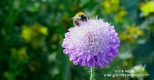 bee on scabious flower illustrating an article about inspiration for writers