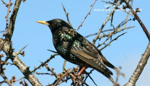 Blackbird sitting on a branch illustrating article called what is a theme