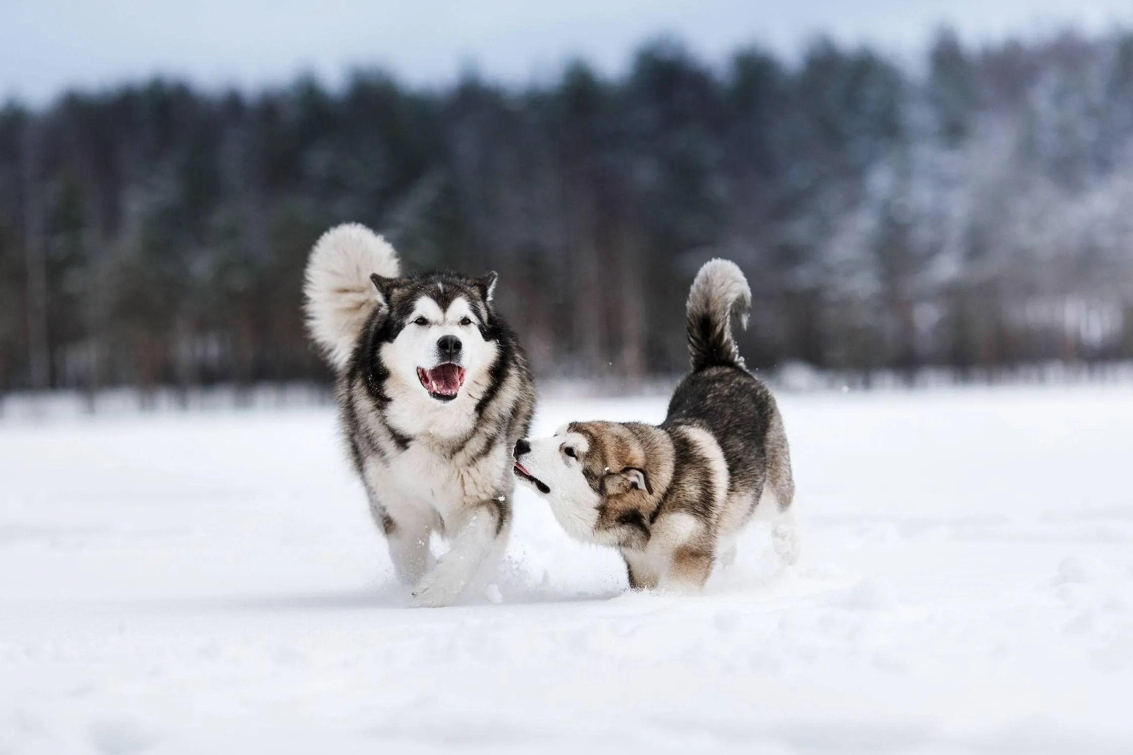 Alaskan Husky Dog Sled Dog