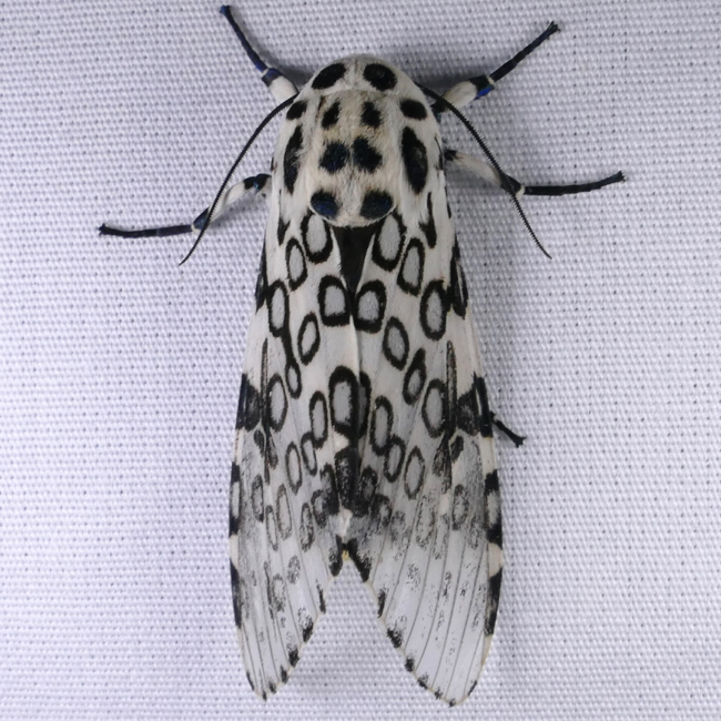Leopard Moth Giant Life Cycle