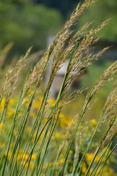 Sorghastrum nutans Indian Grass | Prairie Moon Nursery