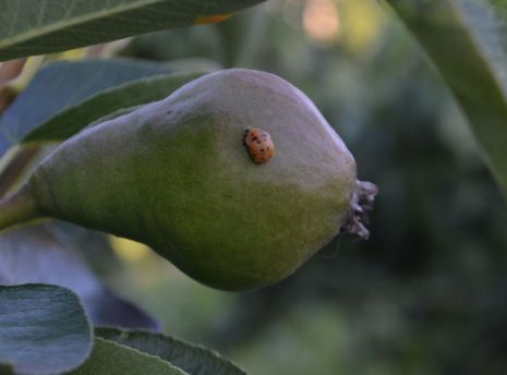 Larva lienky na rozvíjajúcom sa plode hrušky.