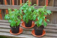 Pevným rastlinkám sa darí na parapete alebo inom stanovisku bez úpalu