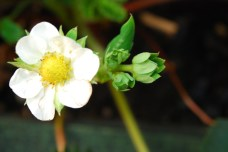 Jahoda v kvete