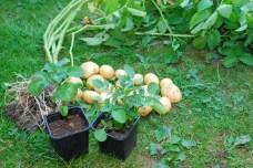 Zemiaky zo záhrady už nedobehnú, sú však zdravé