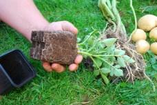 Koreňový systém je mocný, objavili sa plodné konáriky