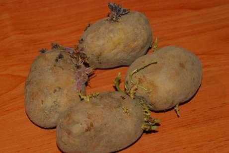Naklíčené zemiaky z minulej úrody