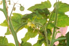 Prvé plody paradajok
