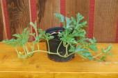 Rastlinka v 22cm kontajneri