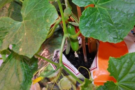 Uhorka postupne rodí, najviac vyživí dva veľké plody súčasne